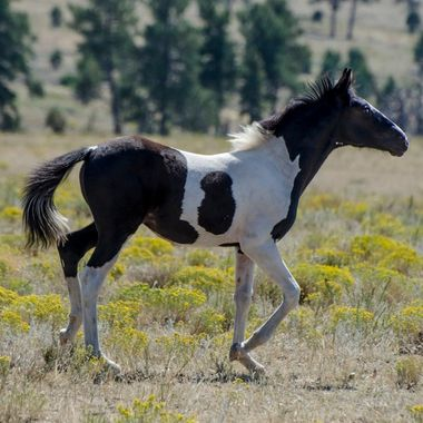 Mohawk Foal