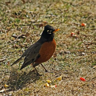 A robin investigating some apple chunks.