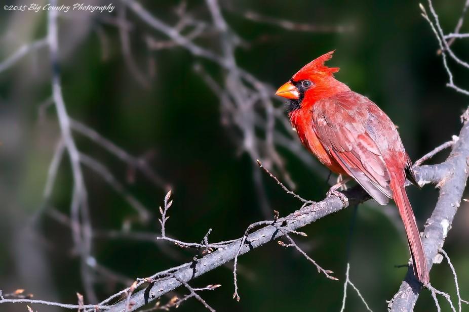 Northern Cardinal awaiting his turn at the feeder.