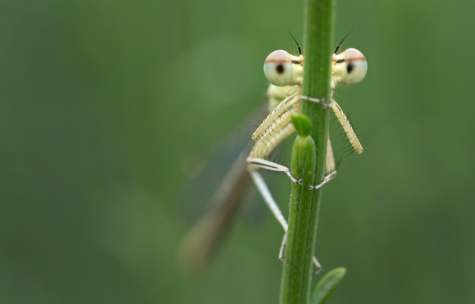 A Damselfly trying to hide from the camera!