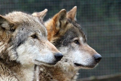 Wolves watching