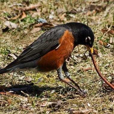 A robin pulling a worm out of the ground.