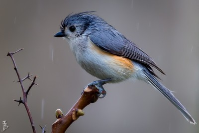 Wet Tufted Titmouse