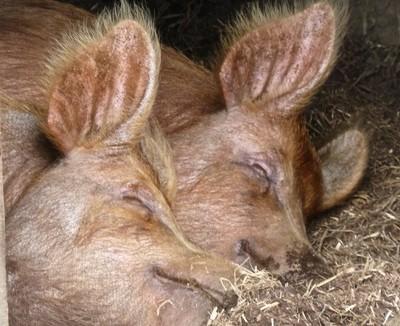 Two Sleepy Pigs
