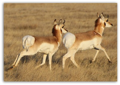 antelope pair