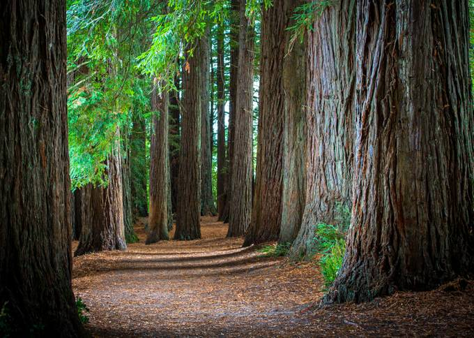 NZ Redwoods by Storycatcher - Divine Forests Photo Contest