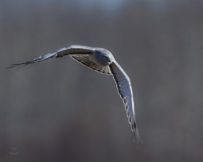 Northern-Harrier-Prowling