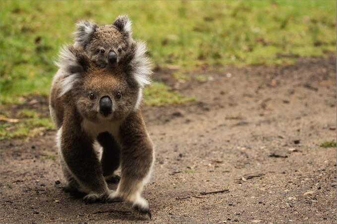 koala  by ircacaplikas - Small Wildlife Photo Contest