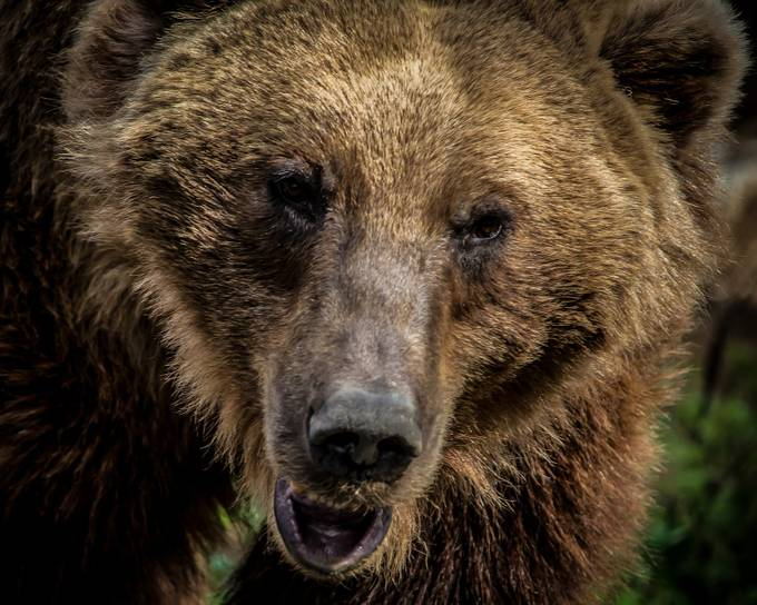 Grizzly Bear  by trauflerphotography - Bears Photo Contest