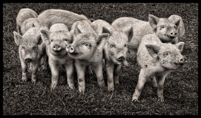 Porkers