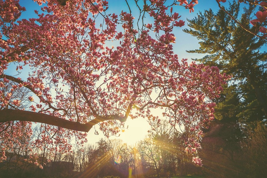 It was a nice day. I saw that the Dogwood trees were blooming during golden hour and had to take ...