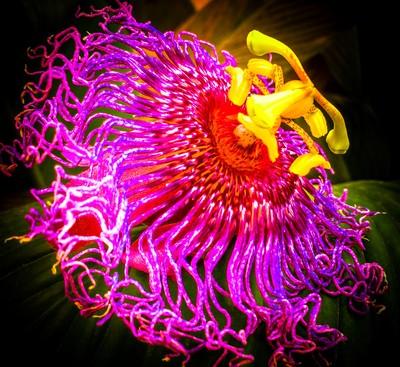 A wild spirited passion flower