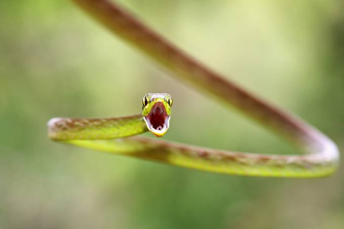 Green Parrot snake - Costa Rica by JimCumming - Your Point Of View Photo Contest