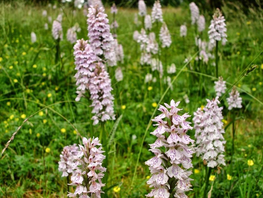 Wild Orchid Begbury Kent