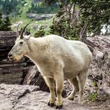 I ran into this guy at the Hidden Lake Overlook in Glacier National Park.