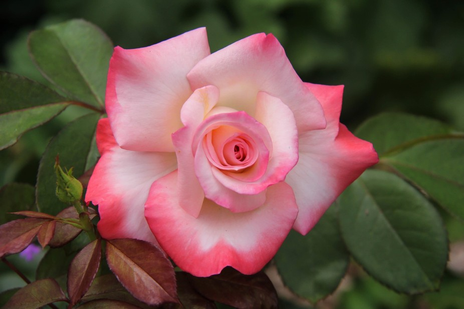 A perfect pink-tipped rose