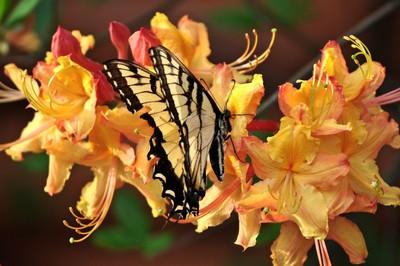 Swallowtail Surprise