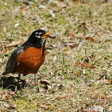 A robin swallowing a worm.