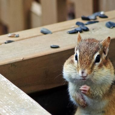 A chipmunk in a wooden planter box.
