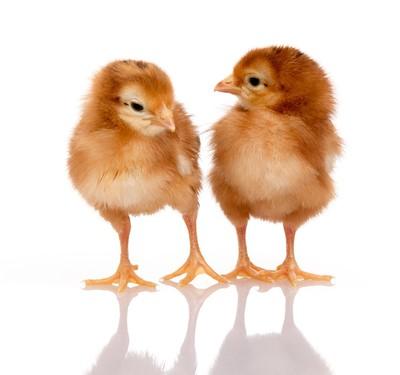 Spring Chicks II