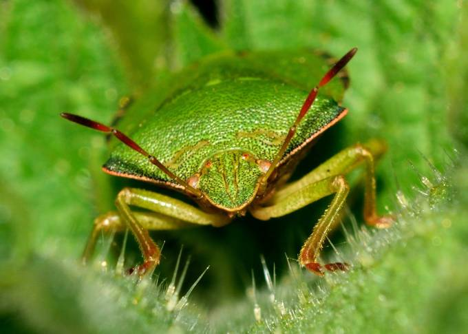 bug on a nettle by chrisjarvis - Can You See Me Photo Contest