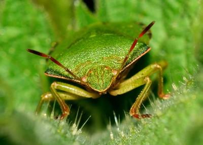 bug on a nettle