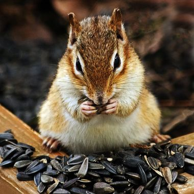 A chipmunk eating sunflower seeds on a wooden planter box.