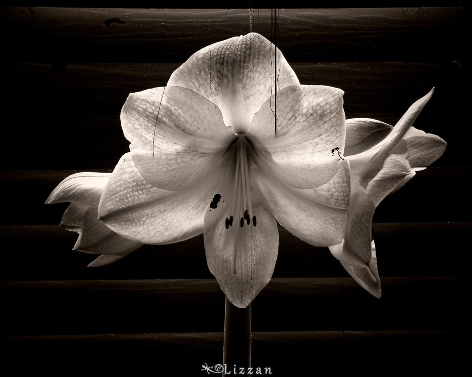Amaryllis on old film