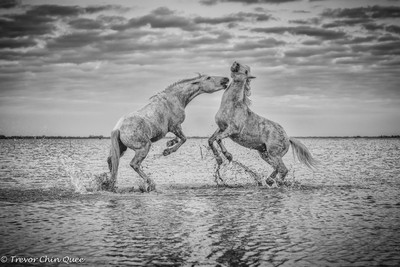 Dueling Horses