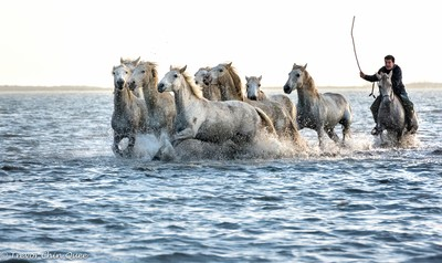 The Guardian herding the Camargue horses