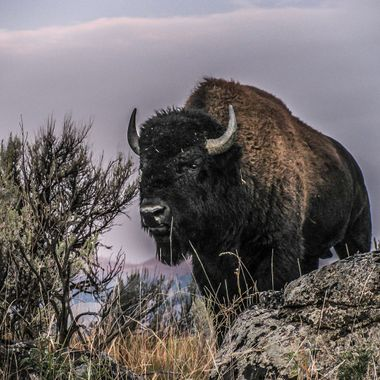Yellowstone National Park  Bison bison, the American Bison is commonly mis-identified as a buffalo.  There are only two buffalo in the world, Africa's Cape buffalo and the Asian water buffalo.