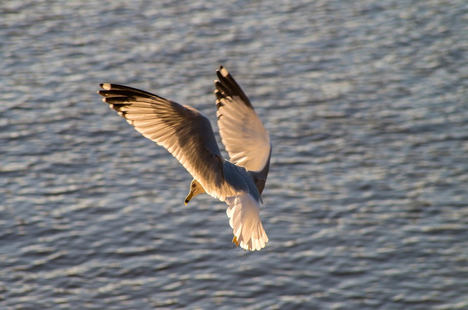 Seagull in flight over the Cape Fear River at sunset in North Carolina, USA.