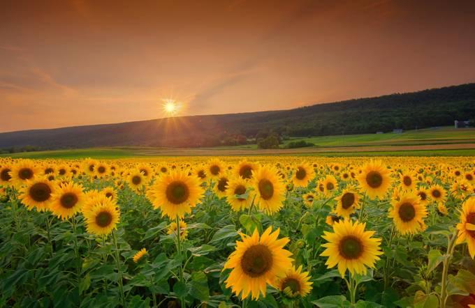 Gorgeous sunflower fields at Penn