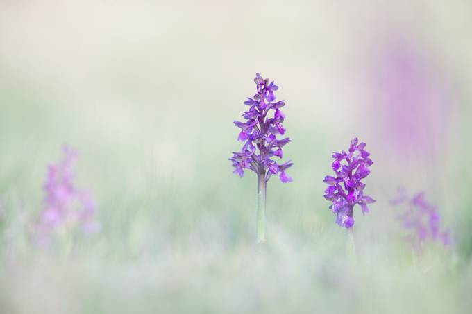 ~ Orchidia ~ by HenrikSpranz