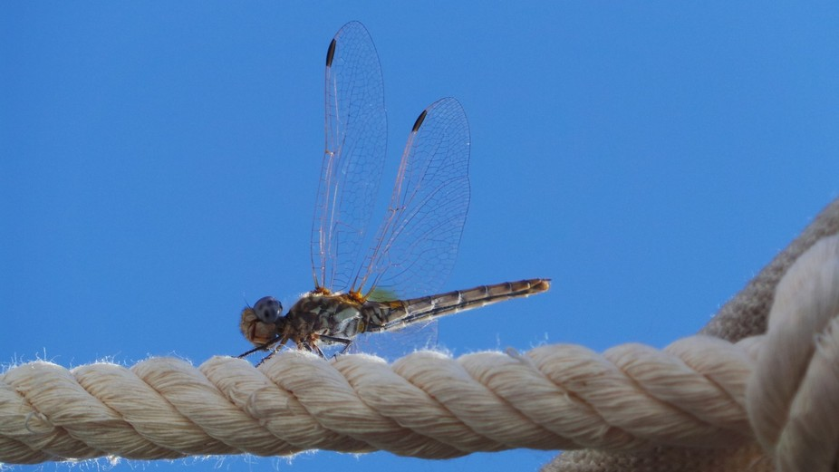 Up close of one of the dragon fly on the Nile river was sitting on the rope holding the tarpulin