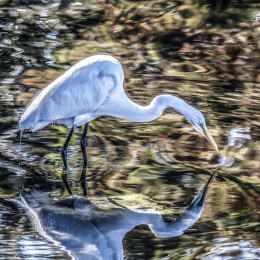 Great Egret intent on finding a meal