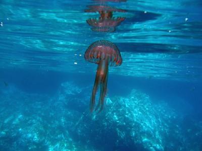 Jellyfish - Pelagia noctiluca