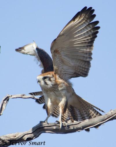 Brown falcon vb