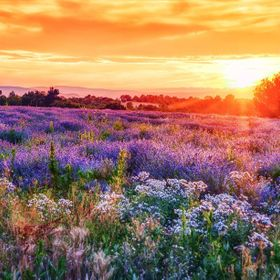 Sunset Over A Summer Lavender Field In Provence