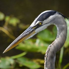 This beautiful specimen was photographed while vacationing in the Everglades. This particular bird had his gaze firmly affixed on an alligator ne...