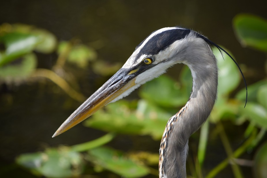 This beautiful specimen was photographed while vacationing in the Everglades. This particular bir...