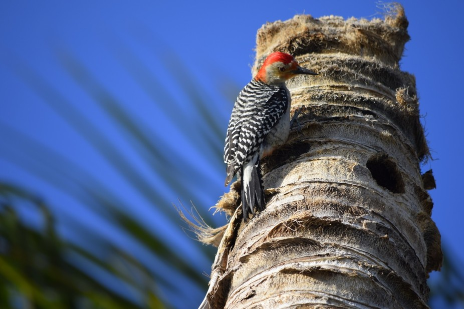 This Red-bellied Woodpecker was photographed nesting on this dead palm tree near Sombrero Beach i...