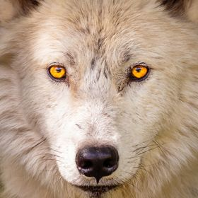 I shot this wolf late last summer. The eyes just draw me in.