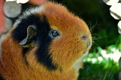 Teddybear  guinea pig