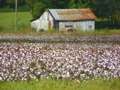 Old Barn and Cotton Field in Harpersville AL