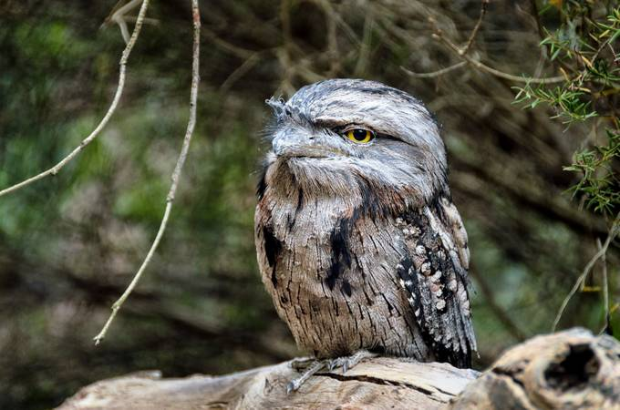 Tawny Frogmouth by Helen_Mountaniol - Small Wildlife Photo Contest