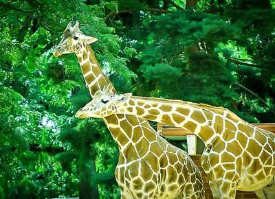 Duo Giraffes