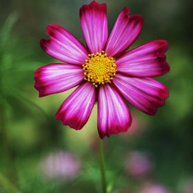 A very pretty cosmos