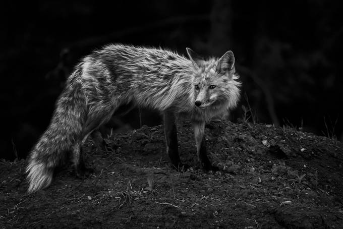 Red fox - Grand Tetons Natl Park-1 by Pegertler - Black And White Compositions Photo Contest vol3