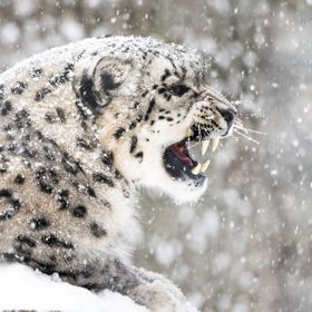 Snow Leopard in Snow Storm